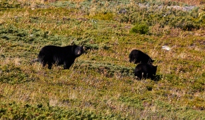 _MG_1858 Waterton National Park bjørn