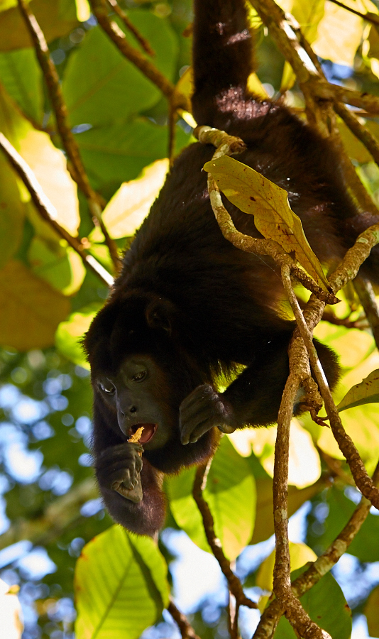 Palenque brøleabe 2