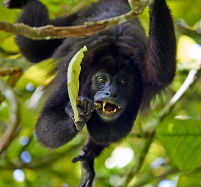 Palenque brøleabe
