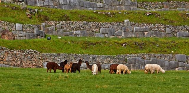 Cusco lamaer