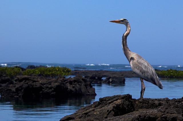 Galapagos hejre