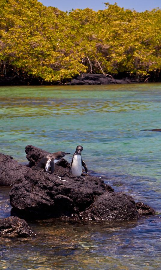 Pingviner i forgrunden, mangrovesump i baggrunden. Kun på Galapagos!