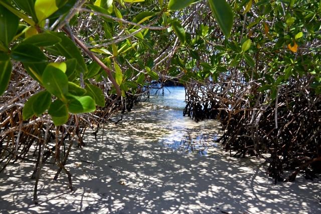 Galapagos Isabela mangrove