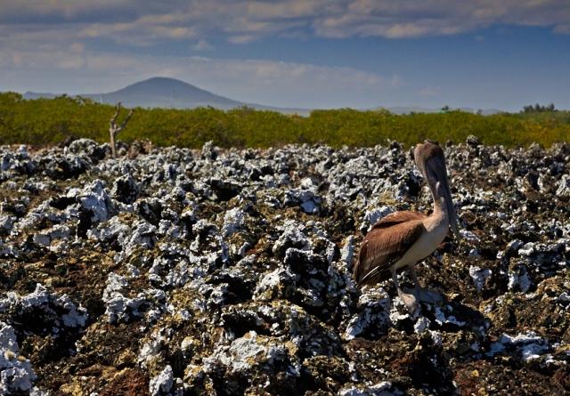 På gåtur i varmen. Pelikanen her tog en pause fra fiskeriet og nød den smukke udsigt.