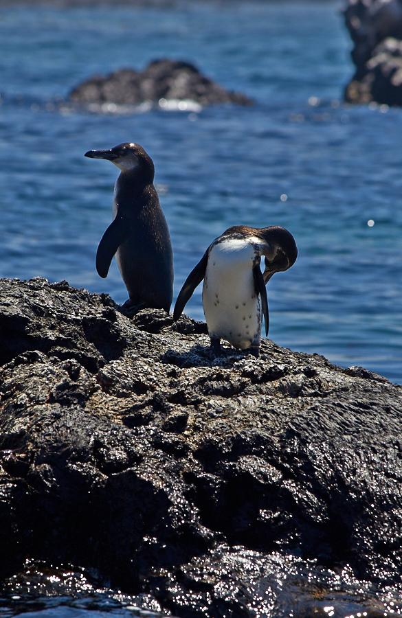 Pingviner der lokkede inden vores snorkeltur