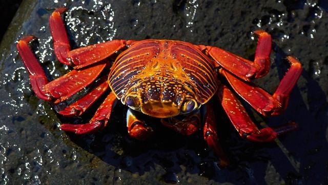 Den er ikke kogt, sådan ser de bare ud på Galapagos..