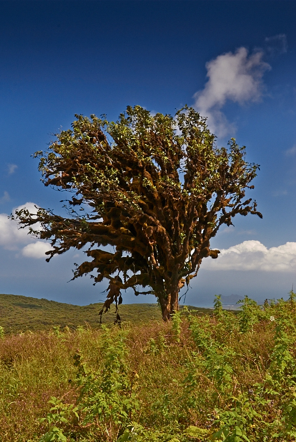 Et ensomt, mosbegroet træ i højlandet