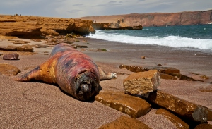 Paracas kyststrækning (2)